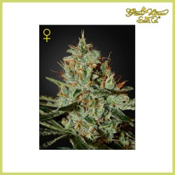 Alaskan Ice (Green House Seeds)