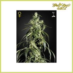 Arjan's Haze 1 (Green House Seeds)
