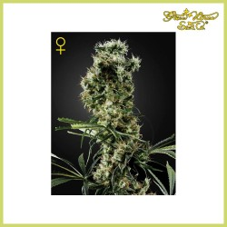 Arjan's Haze 2 (Green House Seeds)