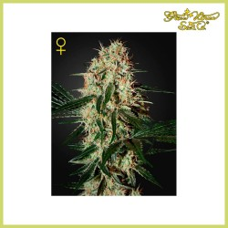 Arjan's Haze 3 (Green House Seeds)