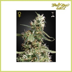 Arjan's Ultra Haze 1 (Green House Seeds)