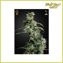 Arjan's Ultra Haze 2 (Green House Seeds)