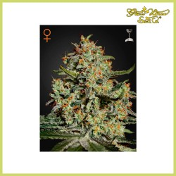 Big Bang (Green House Seeds)