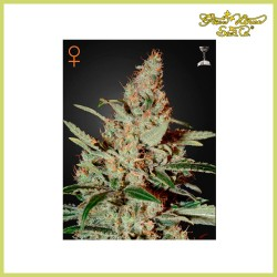 Chemdog (Green House Seeds)