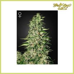 Diamond Girl (Green House Seeds)