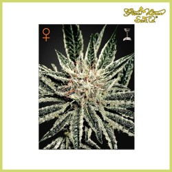 El Niño (Green House Seeds)