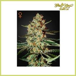 Himalaya Gold (Green House Seeds)