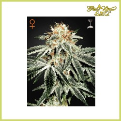 White Widow (Green House Seeds)