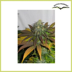 Californian Orange (Dutch Passion Seeds)