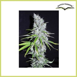CBD SkunkHaze (Dutch Passion Seeds)