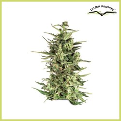 Dutch Cheese (Dutch Passion Seeds)