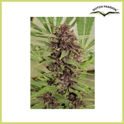 Frisian Dew (Dutch Passion Seeds)