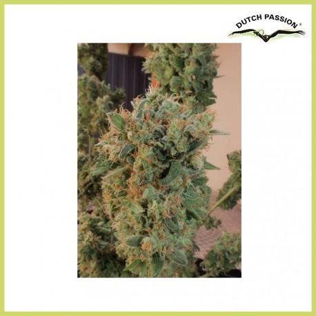 Orange Bud (Dutch Passion Seeds)