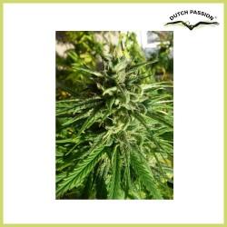 Pamir Gold (Dutch Passion Seeds)
