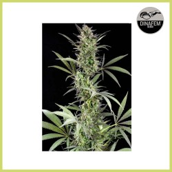 Blue Fruit (Dinafem Seeds) - DESCATALOGADA