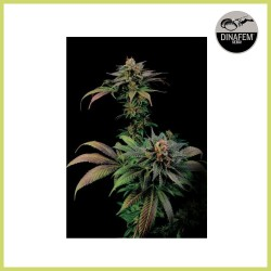 Blue Widow (Dinafem Seeds)