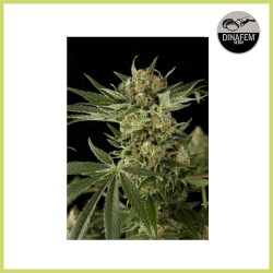 Cloud 9 (Dinafem Seeds) - DESCATALOGADA