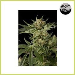 Cloud 9 (Dinafem Seeds) - DESCATALOGADA