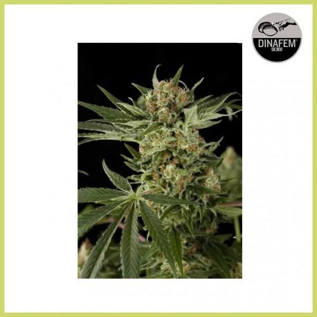 Cloud 9 (Dinafem Seeds)
