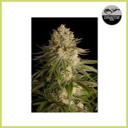 Critical Kush (Dinafem Seeds)