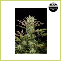 Deep Cheese (Dinafem Seeds)