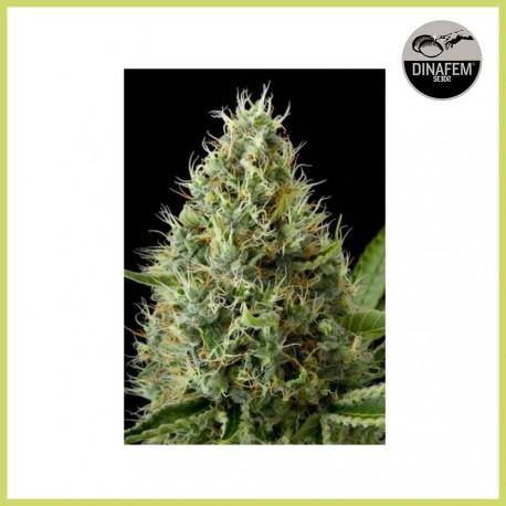 Dinamex (Dinafem Seeds)