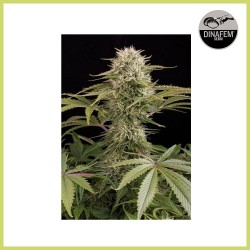 Kush-N-Cheese (Dinafem Seeds)