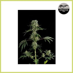 Moby Dick 2 (Dinafem Seeds)