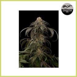 Power Kush (Dinafem Seeds)