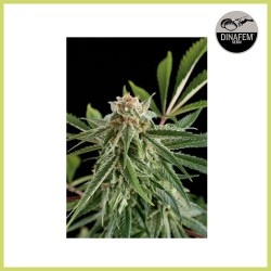 Royale Haze (Dinafem Seeds)