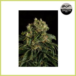 Santa Sativa (Dinafem Seeds)