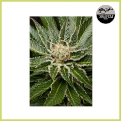 Shark Attack (Dinafem Seeds)