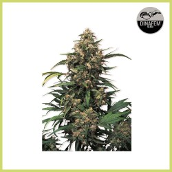 Strawberry Cough (Dinafem Seeds)