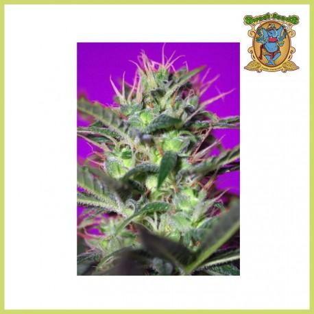 Botafumeiros (Sweet Seeds)