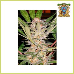 Sweet Afgani Delicious S.A.D. (Sweet Seeds)