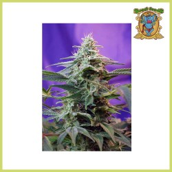 Sweet Special F1 Fast Version (Sweet Seeds)
