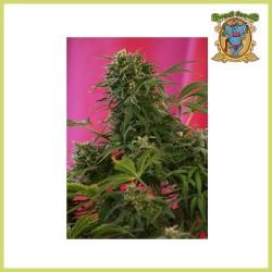 Edición Coleccionista 5 (Sweet Seeds)