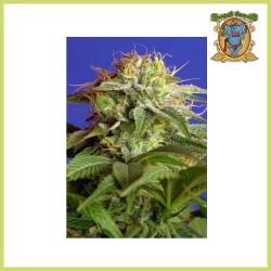 Edición Coleccionista 4 (Sweet Seeds)