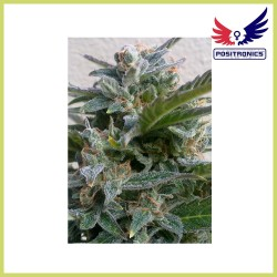 Blue Rhino (Positronics Seeds)