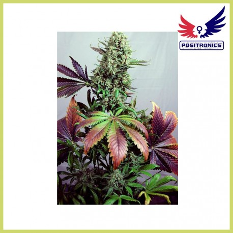 Purple Haze 1 (Positronics Seeds)