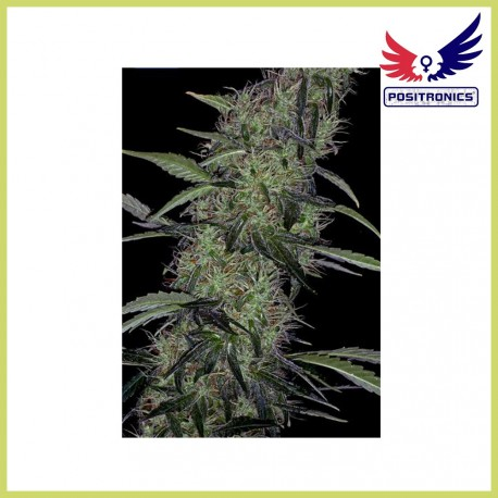 Somango 47 (Positronics Seeds)