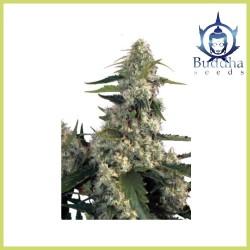 Quasar (Buddha Seeds)
