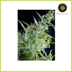 White Bhutanese - Mandala Seeds