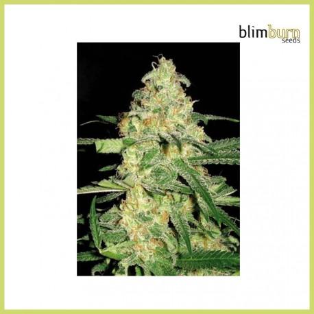 Original Clon CM (Blimburn Seeds)