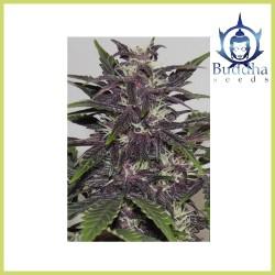 Buddha Purple Kush (Buddha Seeds)