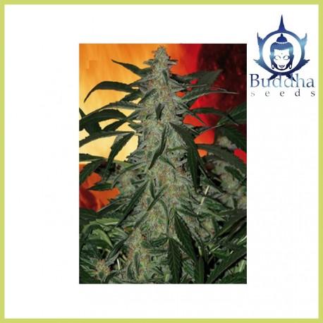 Deimos (Buddha Seeds)