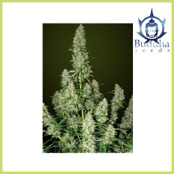 Magnum (Buddha Seeds)