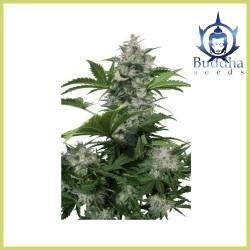White Dwarf Auto (Buddha Seeds)