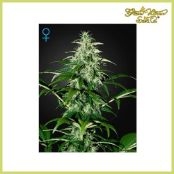 Kalashnikova Auto (Green House Seeds)