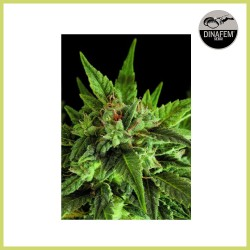 Fruit Auto (Dinafem Seeds)